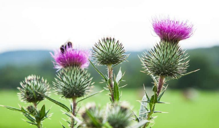 Milk thistle oil to enhance your beauty